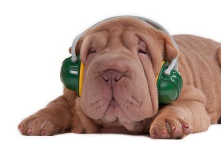 Sharpei puppy is listening to music on headphones isolated on white background Stock Photo