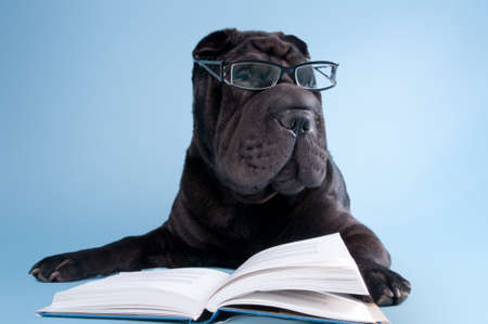 Smart black shar-pei dog with glasses is reading a book photo