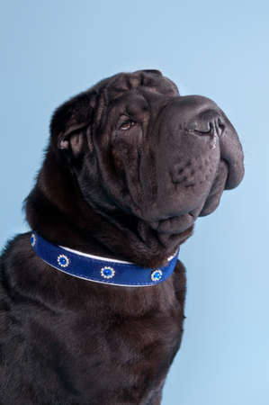 Portrait of Shar-Pei dog sitting with collar isolated on blue background photo