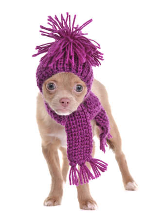 dwarfish: Adorable chihuahua puppy wearing purple hat and scarf isolated Stock Photo