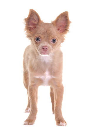 dwarfish: Cute chihuahua puppy standing, looking at camera, isolated