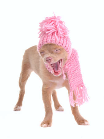 barking: Funny chihuahua puppy with hat and scarf yawning out loudly, isolated on white background