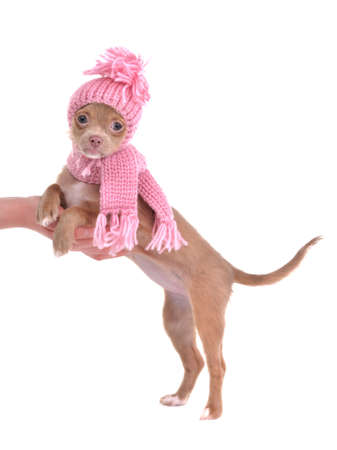 dwarfish: Chihuahua puppy dressed with pink hat and scarf, standing with paws on palm Stock Photo