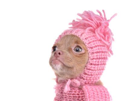 perros vestidos: Lindo perrito chihuahua llevando retrato sombrero de color rosa, aisladas sobre fondo blanco