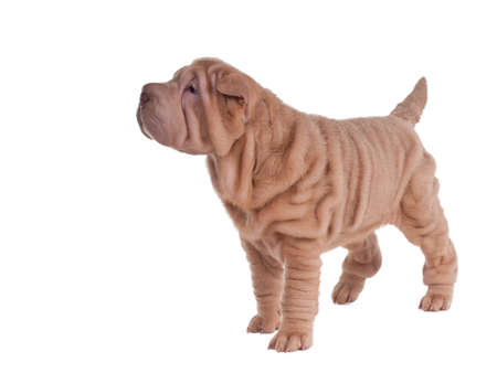 Sharpei puppy standing isolated on white background Stock Photo - 11693986