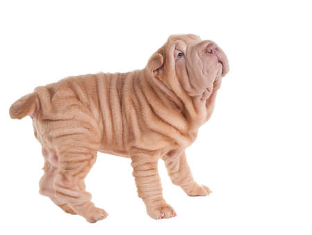 Wrinkled sharpei puppy playing, looking up, isolated on white background photo