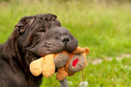 sharpei: Sharpei dog is playing with her teddy bear in sunny park