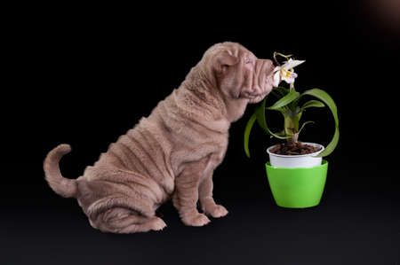 molosse: Sharpei puppy sniffing white flower in a pot, isolated on black background Stock Photo