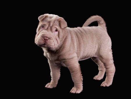 molosse: Beige Sharpei puppy standing, isolated on black background Stock Photo