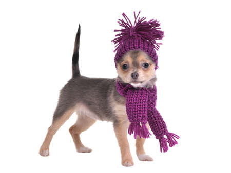 Cute chihuahua puppy wearing hat and scarf standing, isolated on white background photo