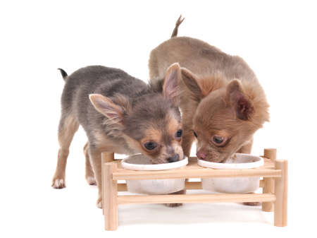 Two cute chihuahua puppies eating isolated on white background photo