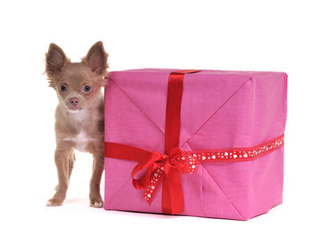 Chihuahua puppy with gift box, isolated on white background photo
