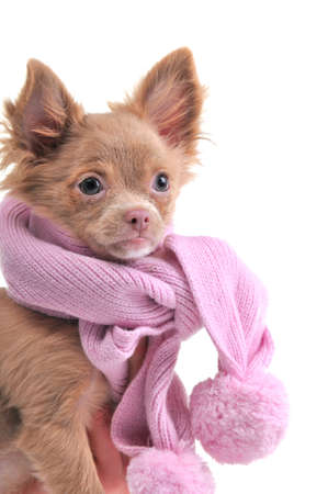 Chihuahua puppy with pink scarf portrait isolated on white background