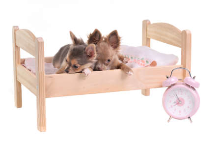 Chihuahua puppies lying in a bed with alarm-clock, isolated on white background photo