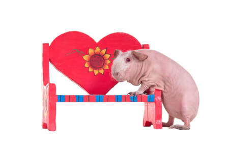 Bald guinea pig is trying to climb on a red toy bench photo