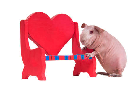 Bald guinea pig is playing with a red toy bench photo