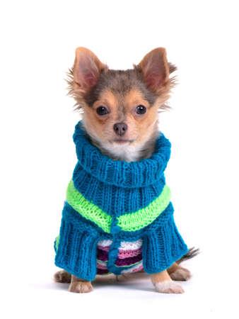 perros vestidos: Chihuahua vestido con suéter colorido, aislado en blanco Foto de archivo