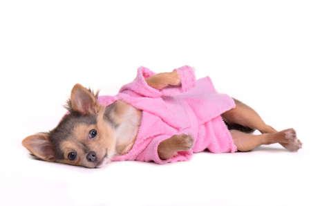 perros vestidos: Relajante chihuahua despu�s de la bata de ba�o puesto y zapatillas, aisladas sobre fondo blanco Foto de archivo