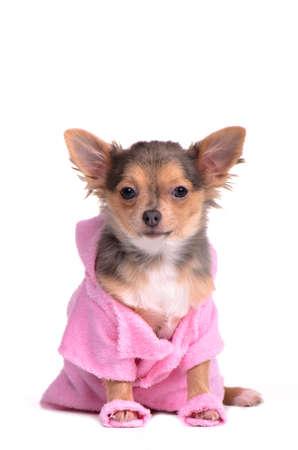 perros vestidos: Chihuahua cachorro después de la bata de baño de uso y zapatillas aisladas sobre fondo blanco Foto de archivo