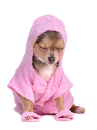 perros vestidos: Relajada cachorro chihuahua después del baño vestida con bata de baño y zapatillas de color rosa sobre fondo blanco
