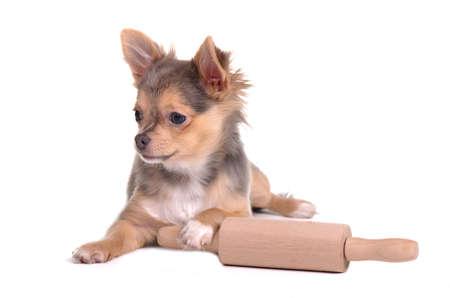 ustensiles de cuisine: Chihuahua chiot avec un rouleau à pâtisserie essayer de faire du pain frais maison