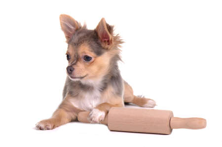 Chihuahua puppy with rolling pin trying to make fresh homemade bread
