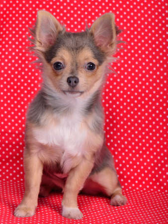 Adorable chihuahua puppy sitting against red and white polka-dot background photo