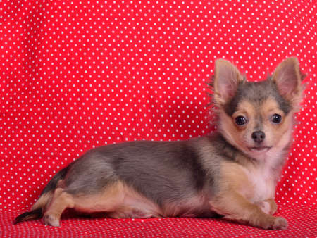 chiwawa: Adorable chihuahua puppy lying against red and white polka-dot background Stock Photo