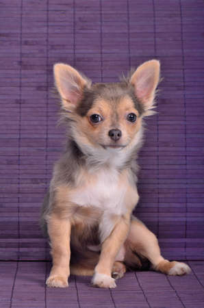 chiwawa: Adorable chihuahua puppy sitting against wooden planks background.