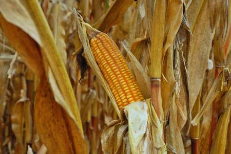 Ripe Maize Ready to Harvest photo