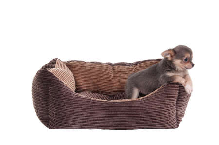 Chihuahua puppy playing in a brown cot isolated on white background photo