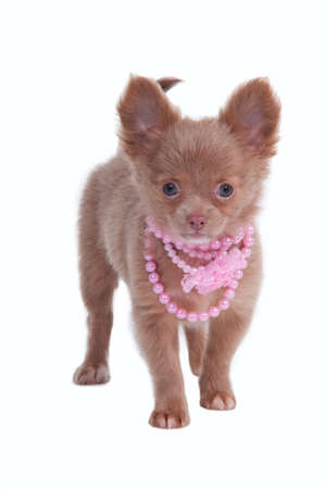 Chihhuahua puppy wearing pink necklace isolated on white background photo