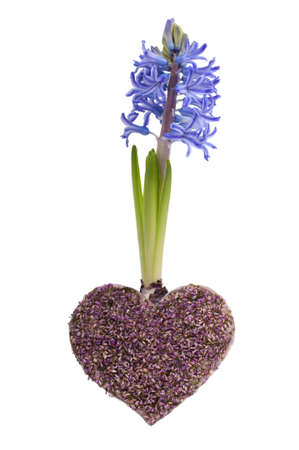 Blue spring hyacinth with a lavender heart, isolated on white background photo