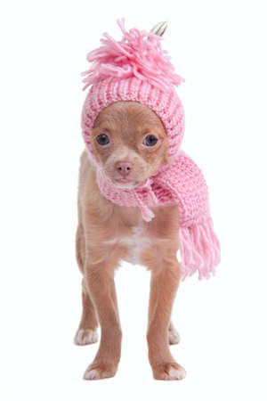 dwarfish: Chihhuahua puppy with pink scarf and hat on white background