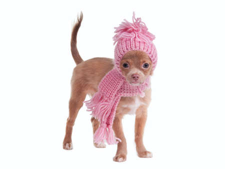 dwarfish: Chihuahua puppy wearing pink scarf and hat isolated on white background Stock Photo