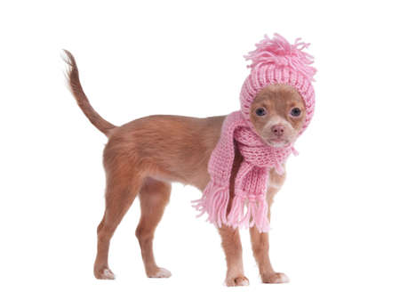 dwarfish: Chihuahua puppy with pink scarf and hat looking aside Stock Photo