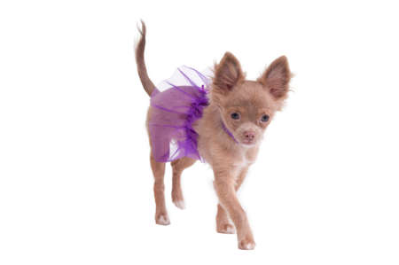 dwarfish: Chihuahua puppy dressed like ballerina in violet isolated on white Stock Photo