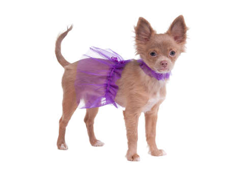 Chihuahua puppy dressed like ballerina in violet photo