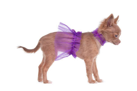 Chihuahua puppy dressed like ballerina in violet standing and looking aside photo