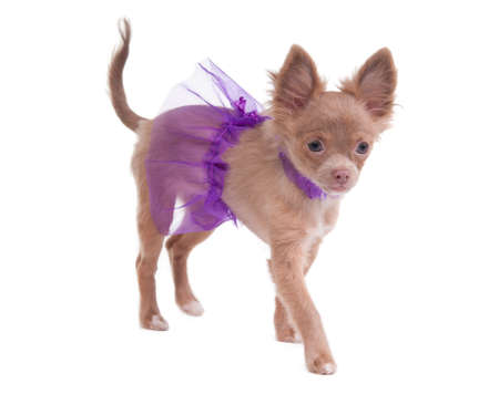 Chihuahua puppy dressed like ballerina in violet isolated on white photo