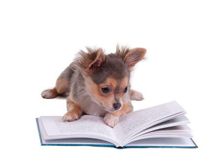 Chiot chihuahua en lisant un livre, isolé sur fond blanc
