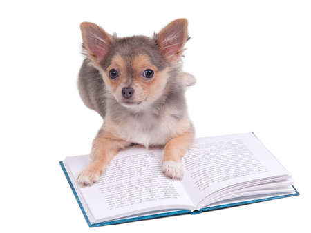 Chihuahua puppy looking up while reading a book isolated on white background. photo