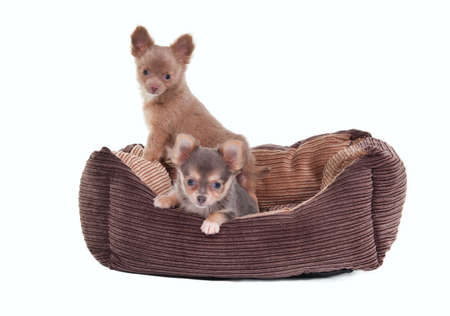 Two Chihuahua Puppies sitting in a brown cot isolated on white background photo