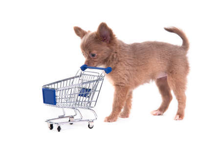 Cute Chihuahua puppy pushing a supermarket cart Stock Photo