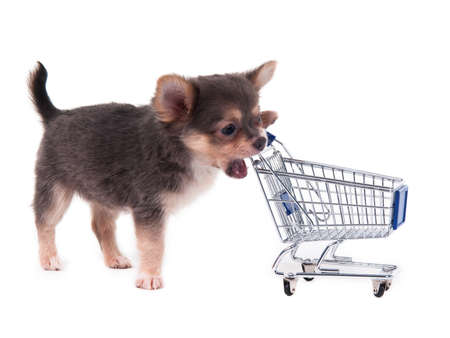 Chihuahua puppy biting a shopping cart Stock Photo