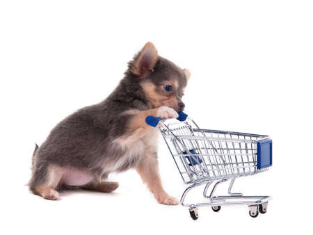 pampered pets: Tiny Chihuahua puppy playing with a supermarket cart Stock Photo
