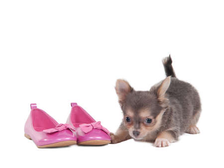 dwarfish: Tricolor coloured chihuahua puppy is playing with pink shoes