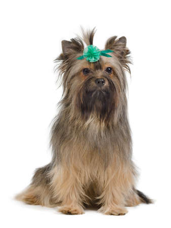 Yorkshire Terrier looking at camera against white background photo