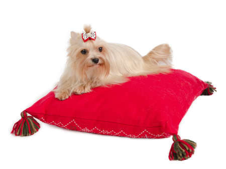 Golden Yorkshire Terrier lying on red cushion photo