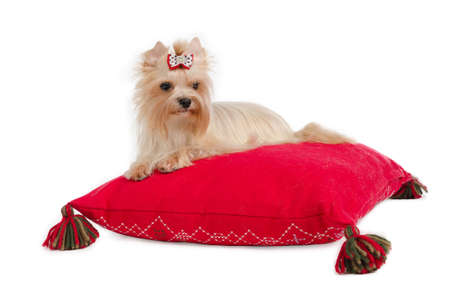 Golden Yorkshire Terrier on red cushion isolated. photo